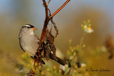 White-crowned Sparrow / North Alabama / Research Park - GPS / October 24, 2014
