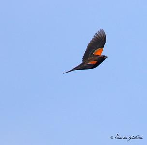 Red-winged Blackbird / North Alabama / Lady Ann Lake - GPS / November 13, 2014 / 7d mk ii / overcast conditions