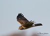 Northern Harrier / North Alabama / Limestone County - GPS / November 18, 2014 / 7d mk ii