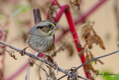 Swamp Sparrow / North Alabama / Lauderdale County / October 23, 2014