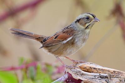 Swamp Sparrow / North Alabama / Lauderdale County / October 23, 2014
