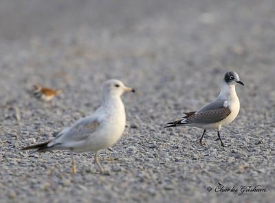 Franklin's Gull / North Alabama / Guntersville Lake- GPS / October 24, 2014
