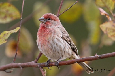 House Finch (very rare! haha) / North Alabama / Riverwalk - GPS / November 1, 2014Canon 7d Mark II