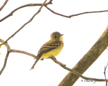 Yellow-bellied Flycatcher at Ruffner Mountain