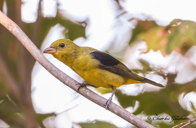 Scarlet Tanager on Monte Sano