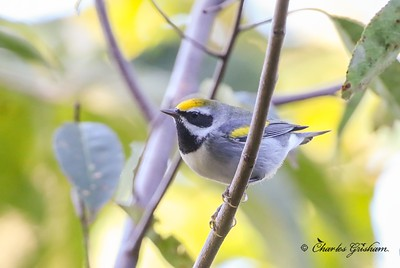 Golden-winged Warbler on Monte Sano