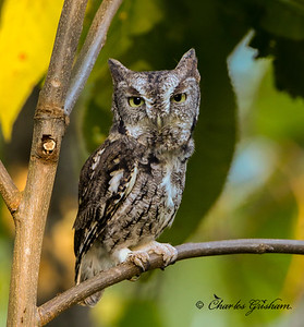 Eastern Screech Owl on Monte Sano