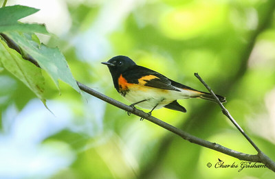 American Redstart on Ruffner Mountain