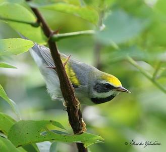 Golden-winged Warbler (male)