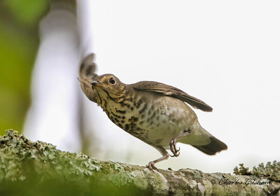 Swainson's Thrush in Decatur