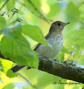 Veery or Grey-cheeked Thrush, you decide