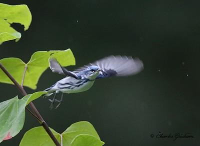 Cerulean Warbler Monte Sano
