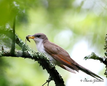 Yellow-billed Cuckoo     Monte Sano
