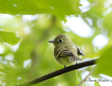 Least Flycatcher (I think)