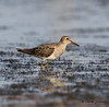 Pectoral Sandpiper - Winfred Thomas Research Station - GPS