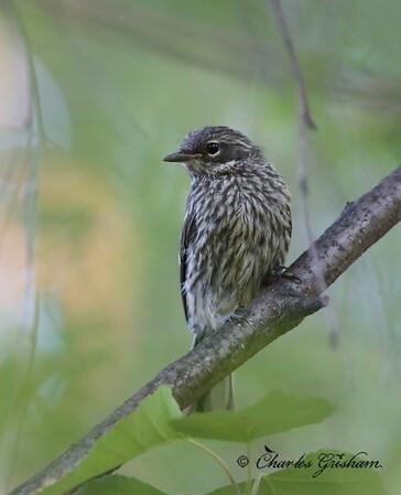 Myrtle Warbler (imature) - Coldfoot, Alaska - GPS