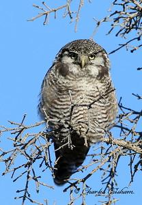 Northern Hawk Owl - Surnia ulula - Alaska - GPS - 7d2