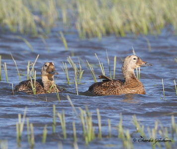 Female Spectacled Eiders?  Deadhorse, Alaska - GPS
