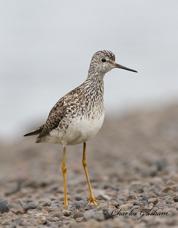 Lesser Yellowlegs - Alaska - Dalton Highway - GPS