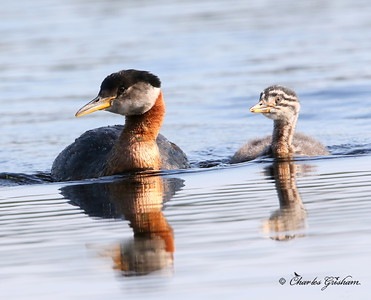 Red-necked Grebe - Fairbanks, Alaska - Smith Lake - GPS 7d2