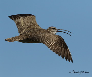 Whimbrel - 26 miles south of Deadhorse, Alaska - 7d2 - GPS