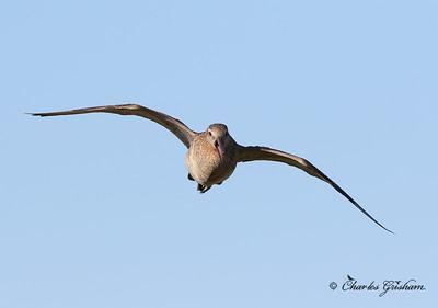 Bar-tailed Godwit (female) - Alaska - GPS