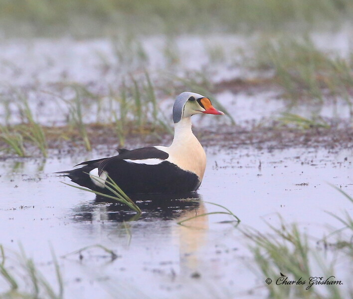King Eider (male) - Deadhorse, Alaska - GPS - 6d