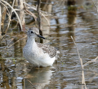 Lesser Yellowlegs? (immature) - Alaska - Dalton Highway - GPS