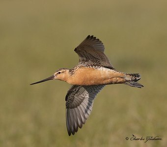 Bar-tailed Godwit (male) - Alaska - GPS