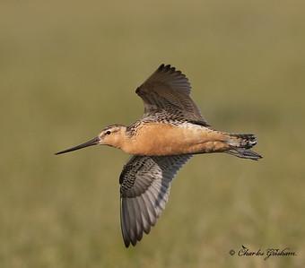 Bar-tailed Godwit (male) - Alaska - GPS