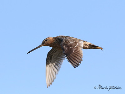 Long-billed Dowitcher - Alaska - GPS