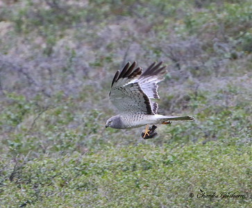 Male Northern Harrier in Alaska