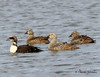 Common Eiders  - male eclipse plumage and females - Deadhorse, Alaska - GPS
