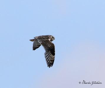 Short-eared Owl (heavy crop) Alaska - Dalton Highway - GPS