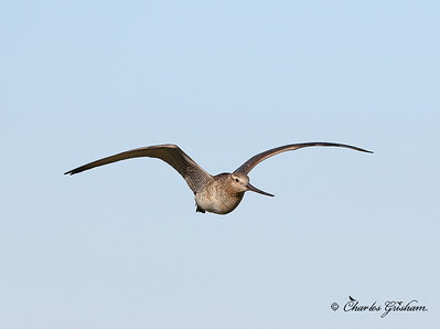 Bar-tailed Godwit (female) - Alaska - GPS
