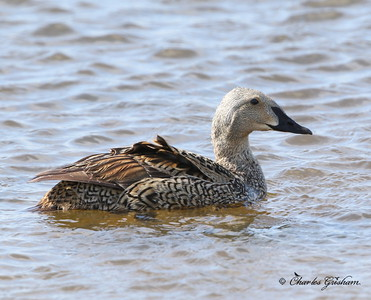 Common Eider (female) - Alaska - Deadhorse - GPS
