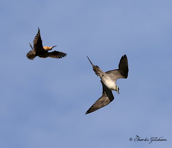 Male Bar-tailed Godwit chasing a Long-tailed Jaeger
