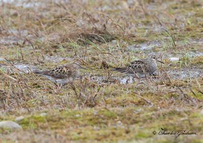 Pectoral Sandpipers in Prudhoe Bay, Alaska. One has white eye ring, other doesn't.