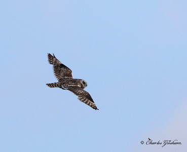 Short-eared Owl (heavy crop) Alaska - Dalton Highway - GPS