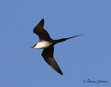 Long-tailed Jaeger - Alaska - GPS