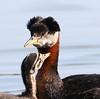 Red-necked Grebe - Fairbanks, Alaska - Smith Lake - GPS 7d2