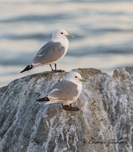Black-legged Kittiwake in Alaska