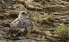 Rough-legged Haw in Alaska