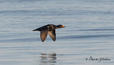 Black Scoter in Alaska