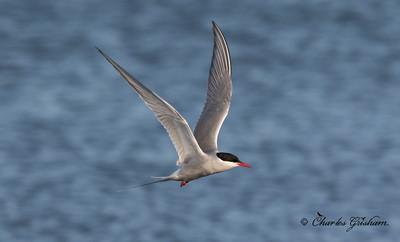 Arctic Tern in Alaska