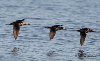 Long-tailed Duck in Alaska