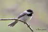 black capped chickadee 2016 council