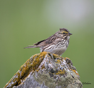 Savannah Sparrow in Alaska