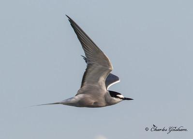 Aleutian Tern in Alaska