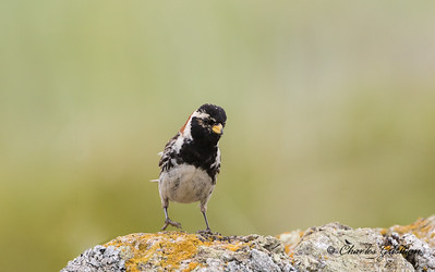 Male Lapland Longspur in Alaska